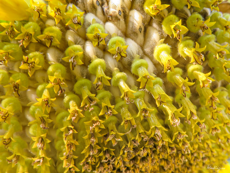 Sunflower seed heads - Tournesol en tête de semences