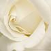 White Rose, 4.27.17