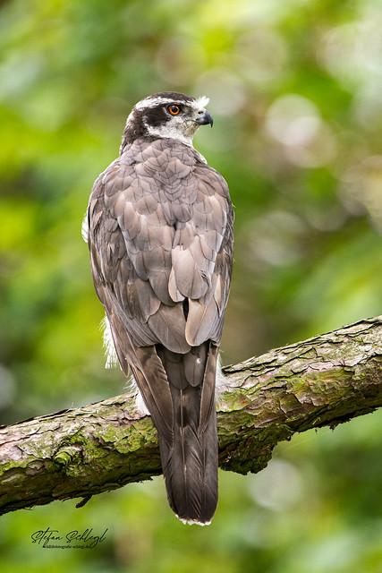 Habicht / Northern Goshawk / Accipiter gentilis