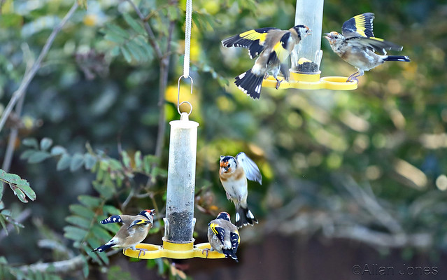 Angry Goldfinches