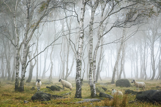 Sheep in the woods II