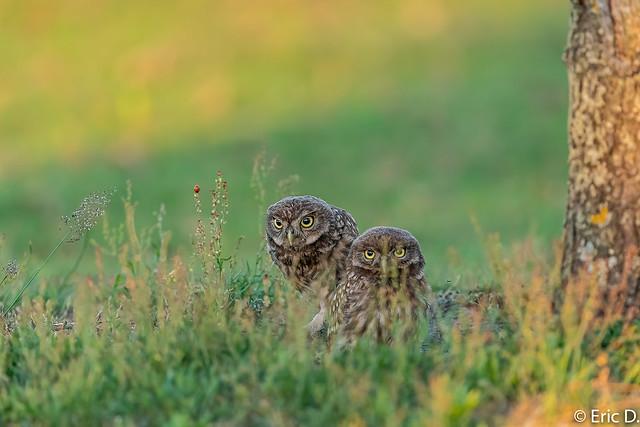 juvenile little owls