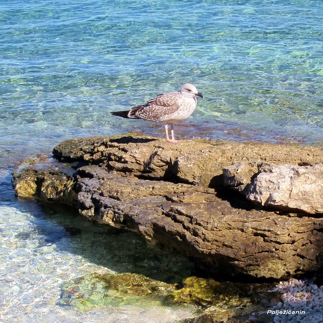 Adriatic gull - Galeb klaukavac (Larus michahellis)