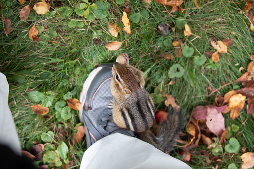 Eastern Chipmunk eating a peanut on my shoe while I'm wearing it.