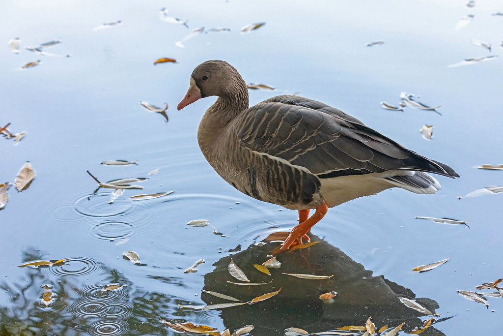 The White-fronted goose (Anser albifrons)