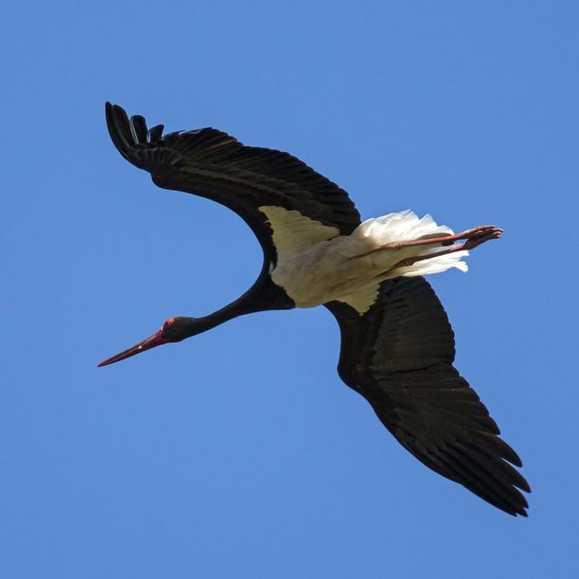 Cigüeña Negra (Ciconia nigra) Black Stork