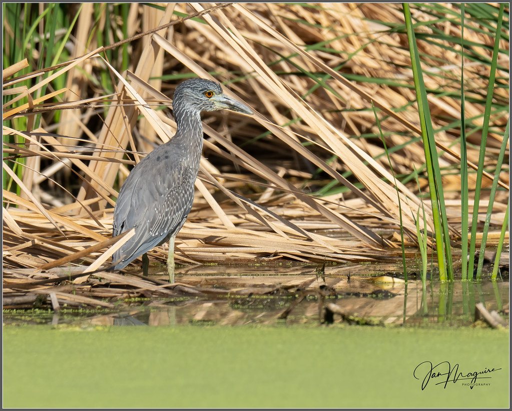 Yellow-crowned Night Heron Juve 7240