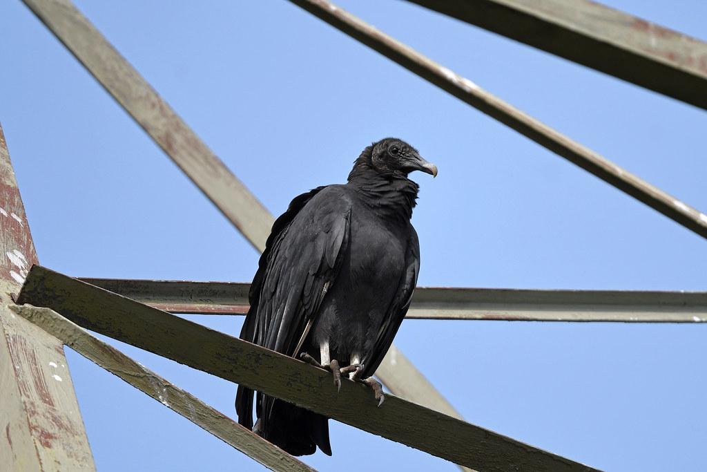Black Vulture (Unami Creek Valley)