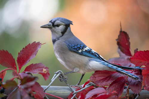 My personal friendly Blue Jay