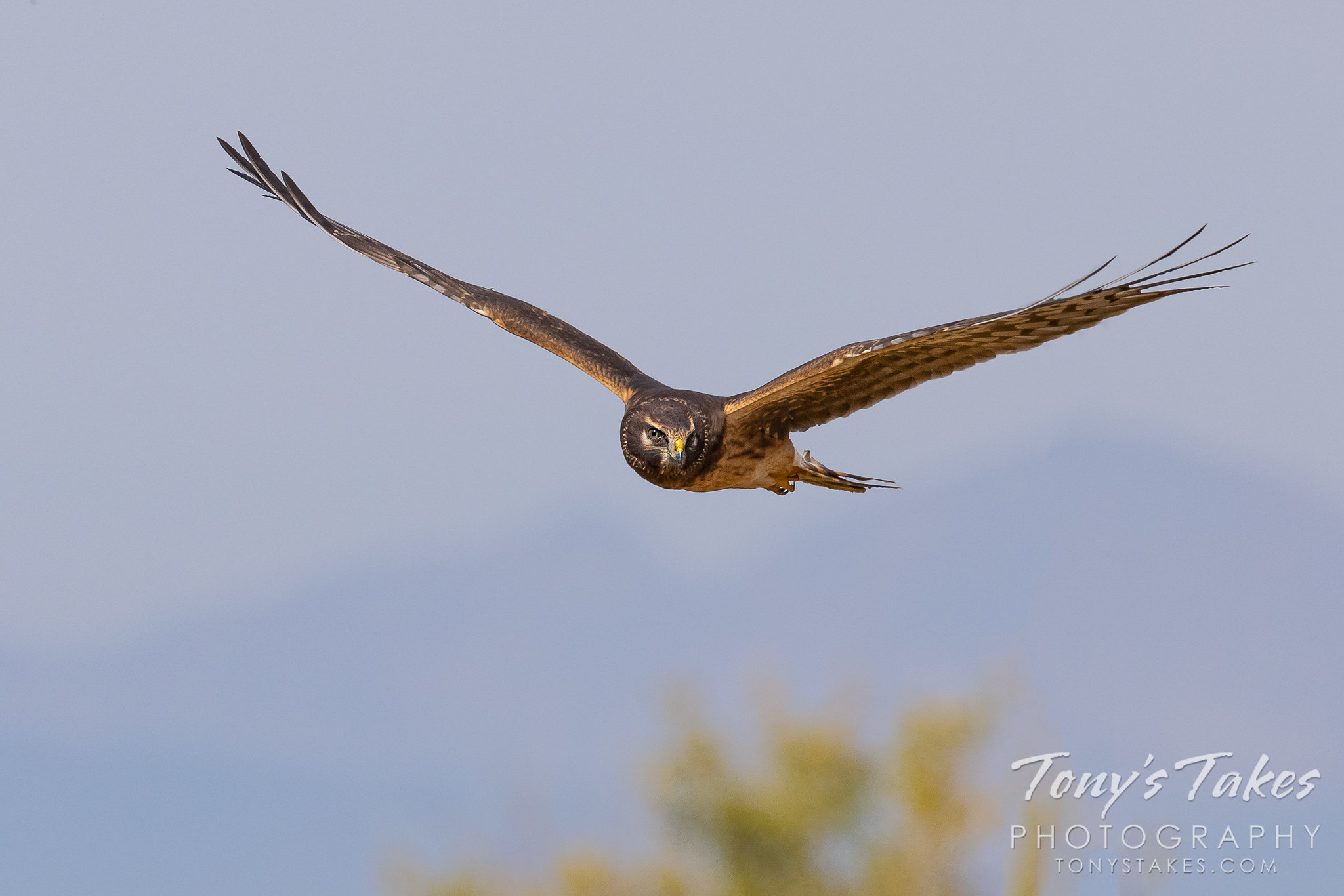 Northern harrier on patrol