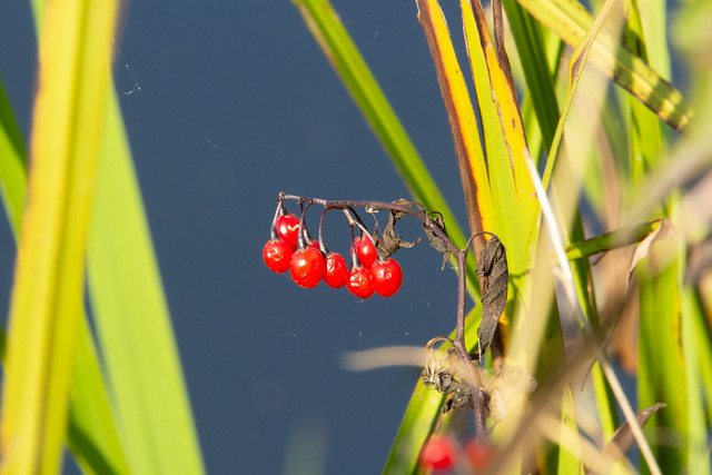 bright red wild flower fruit on the river bank