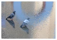 O Pigeons!