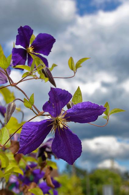 Compiègne (Oise) - Dans ma rue, fleurs de juin - Clématites