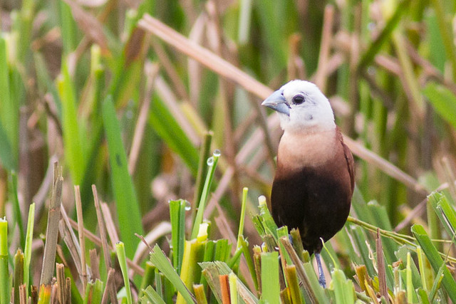 White-headed Munia   - adult male