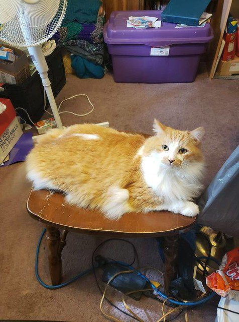 LOST dlh orange & white tabby cat in #Lynwood since Sep 25. Call 403-279-8461 or 587-439-7634 if seen/ found. Pls rt, share, watch, help find CUDDLES! I lost my cat cuddles. Hes a oragen tabby with a white spot in the middle of his back. He is very shy an
