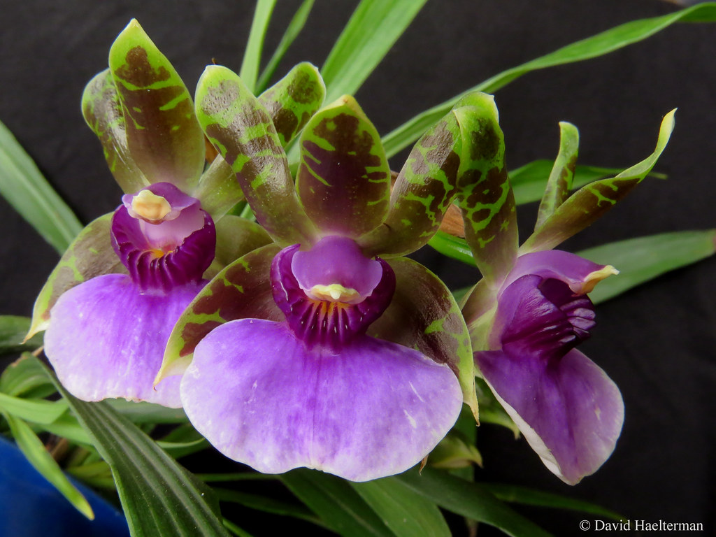 The impressive Zygopetalum maxillare another of my prefered orchids that I grow in Colombia. Distributed in southern Brazil, northeastern Argentina and eastern Paraguay from 600 to 1000 m asl.