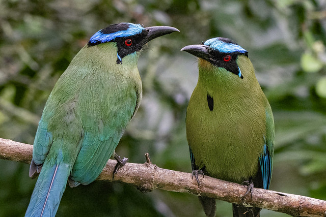Mr & Mrs Motmot -EXPLORED 29/09/2020-