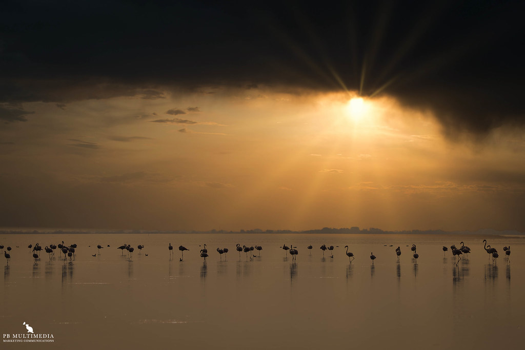 Flamingos By The Golden Sunset