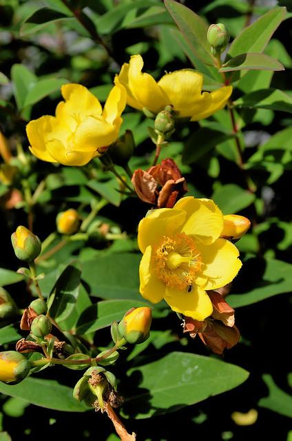 Compiègne (Oise) - Dans ma rue, fleurs de juin - Millepertuis