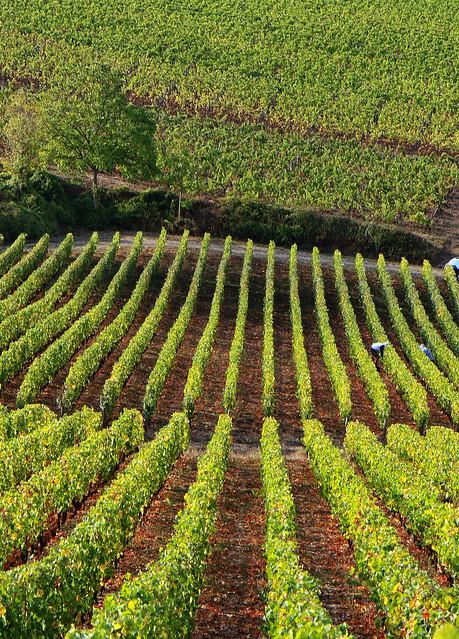 Vignoble d'Irancy (Yonne)