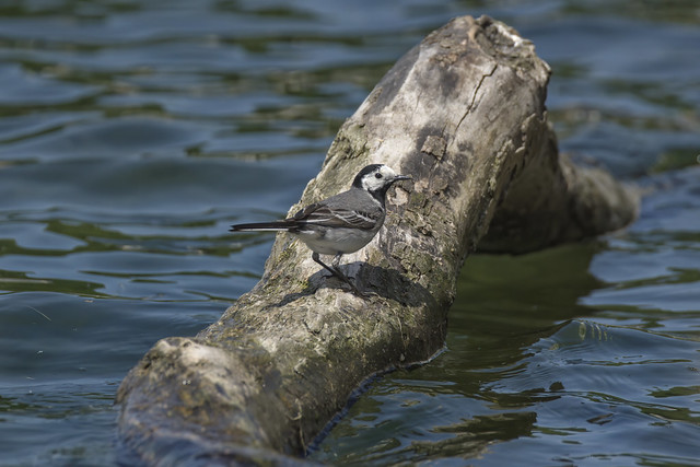a White Wagtail on his branch