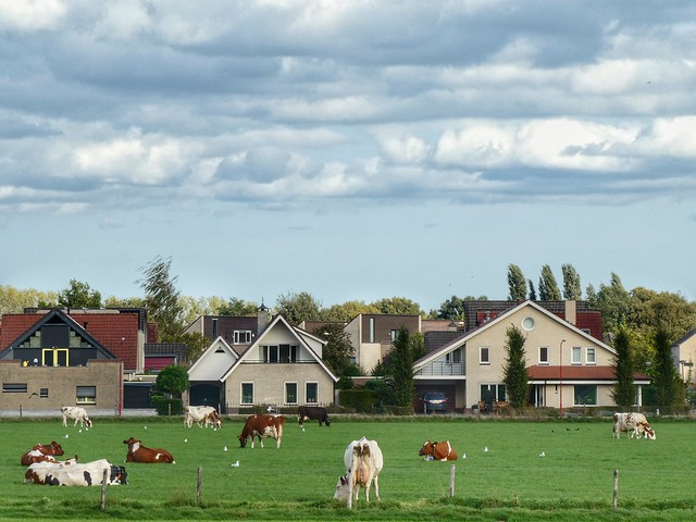Cows and houses