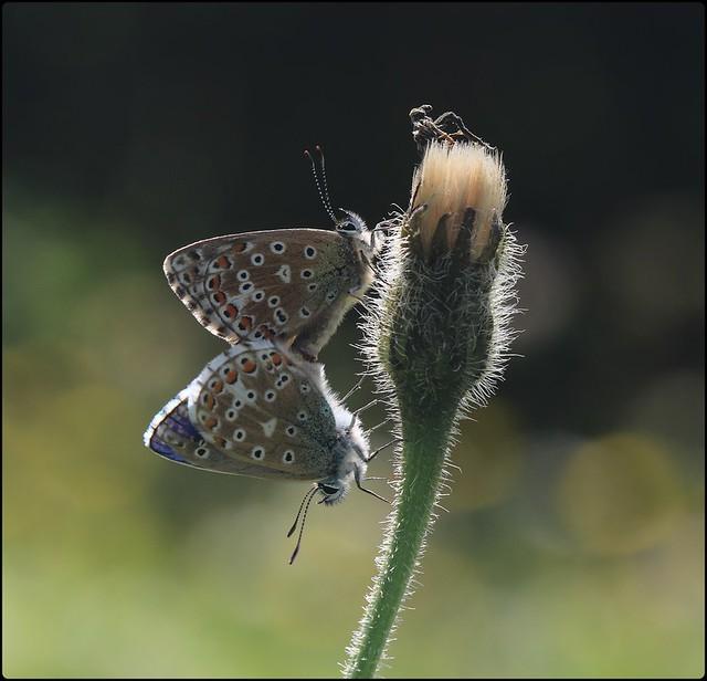 Adonis Blues IV - Mating on dead Hawksbeard