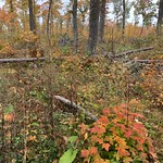 Red maple stump sprouts in a hardwood timber harvest site in Beltrami County, MN