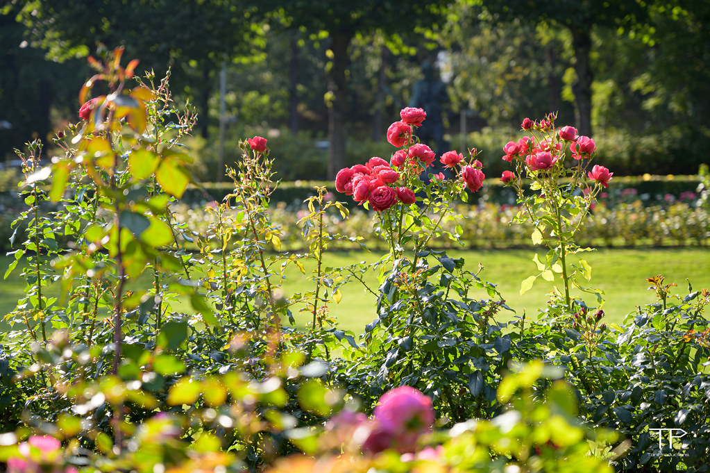 20-09-24_Roses_in_winter_garden