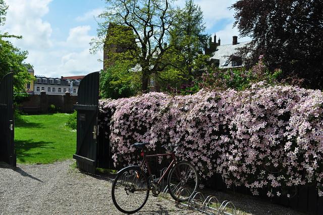 Le vélo et les clématites, jardin de Paloehaven,  Roskilde, Sjælland, Danemark.