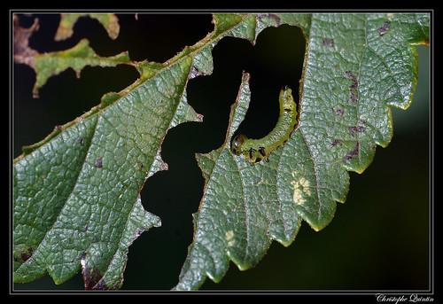 Tenthrède zigzag de l'Orme (Aproceros leucopoda)