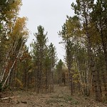 First thinning in red pine, Beltrami County MN