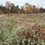Red pine regeneration 2-years after planting, Beltrami County MN