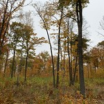 Autumn in a hardwood timber harvest site in Beltrami County, MN