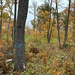 Designated wildlife tree in a hardwood timber harvest site in Beltrami County, MN