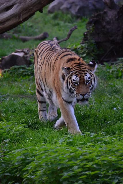 Siberische tijger (Panthera tigris altaica) | Zoo Duisburg