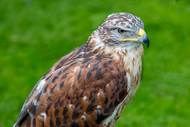Armchair Traveling - A Raptor at Scone Palace, Scotland