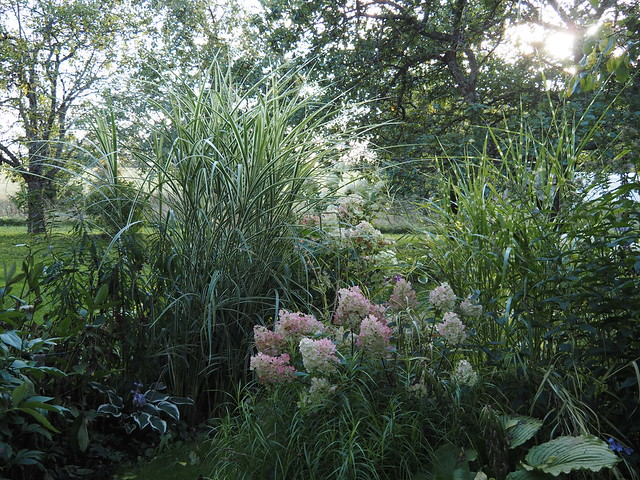 Grasses & Hydrangea paniculata