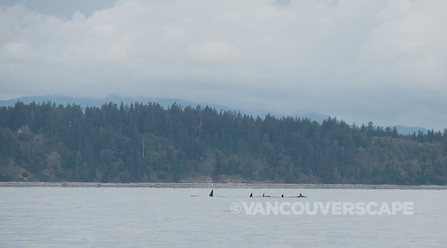 Campbell River Whale Watching-6