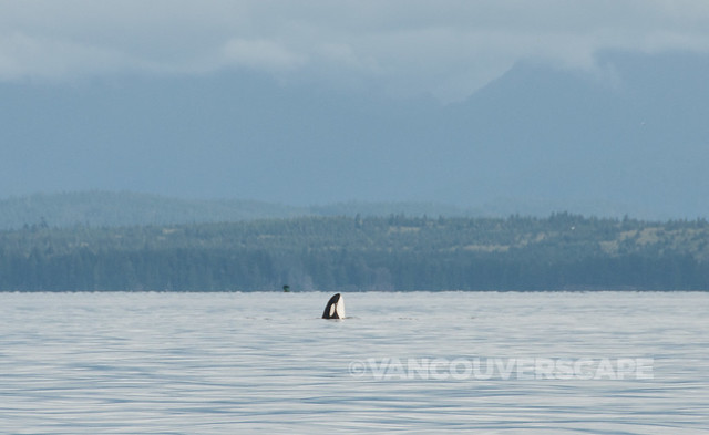 Campbell River Whale Watching-7