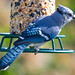 Bluejay at the Seed Log
