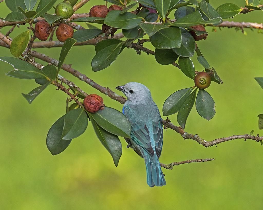 Tangara Azuleja con  frutas- Blue-gray Tanager-Thraupis episcopes