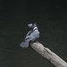 Crested Kingfisher -202009214556.jpg