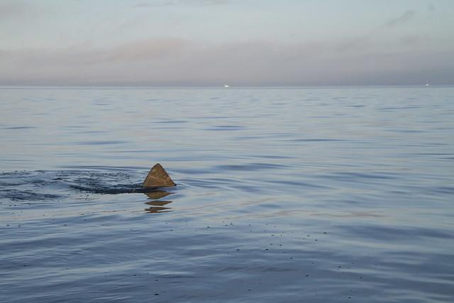 White Shark?