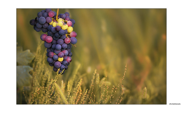 All stages of ripening, in a single bunch ... Nikkor f2 135mm. Ais at f 2,8