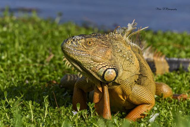 Large male iguana [on Explore 9/29/20]