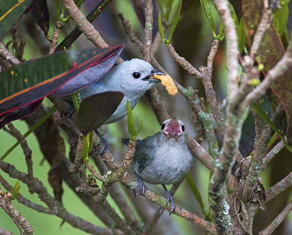 Tangara Azuleja alimentando a  su cria