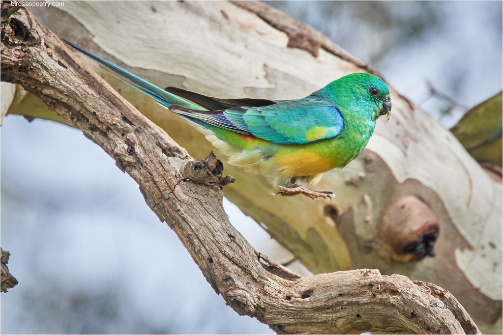 Red-rumped Parrot: Leap of Faith