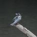 Crested Kingfisher -202009214268.jpg