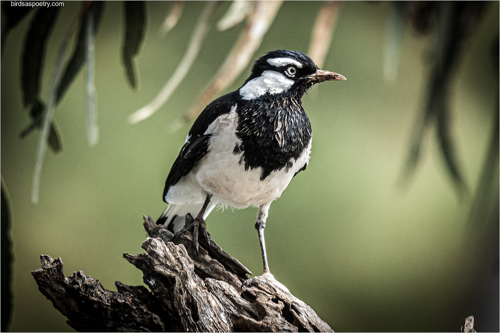 Magpie-Lark: Who's a Busy Boy Then?